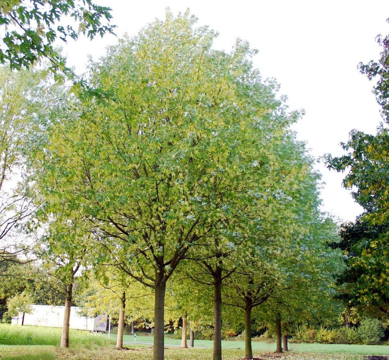 Sidabrinis klevas (Acer saccharinum)
