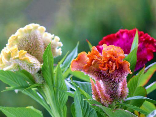 Gėlės nuotrauka. (Pavadinimas: Cocks comb flower)