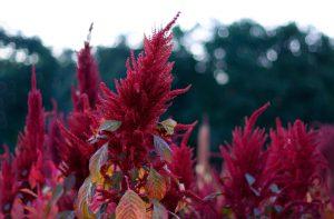 Šluotinis burnotis (amaranthus paniculatus)