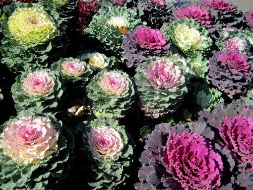Gėlės nuotrauka. (Pavadinimas: Ornamental cabbage)
