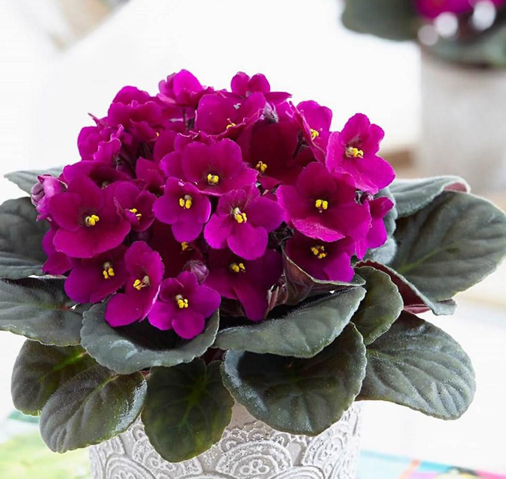 Tamsiai violetinė sanpaulija