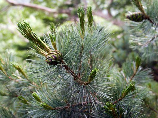 Gėlės nuotrauka. (Pavadinimas: Siberian dwarf pine)