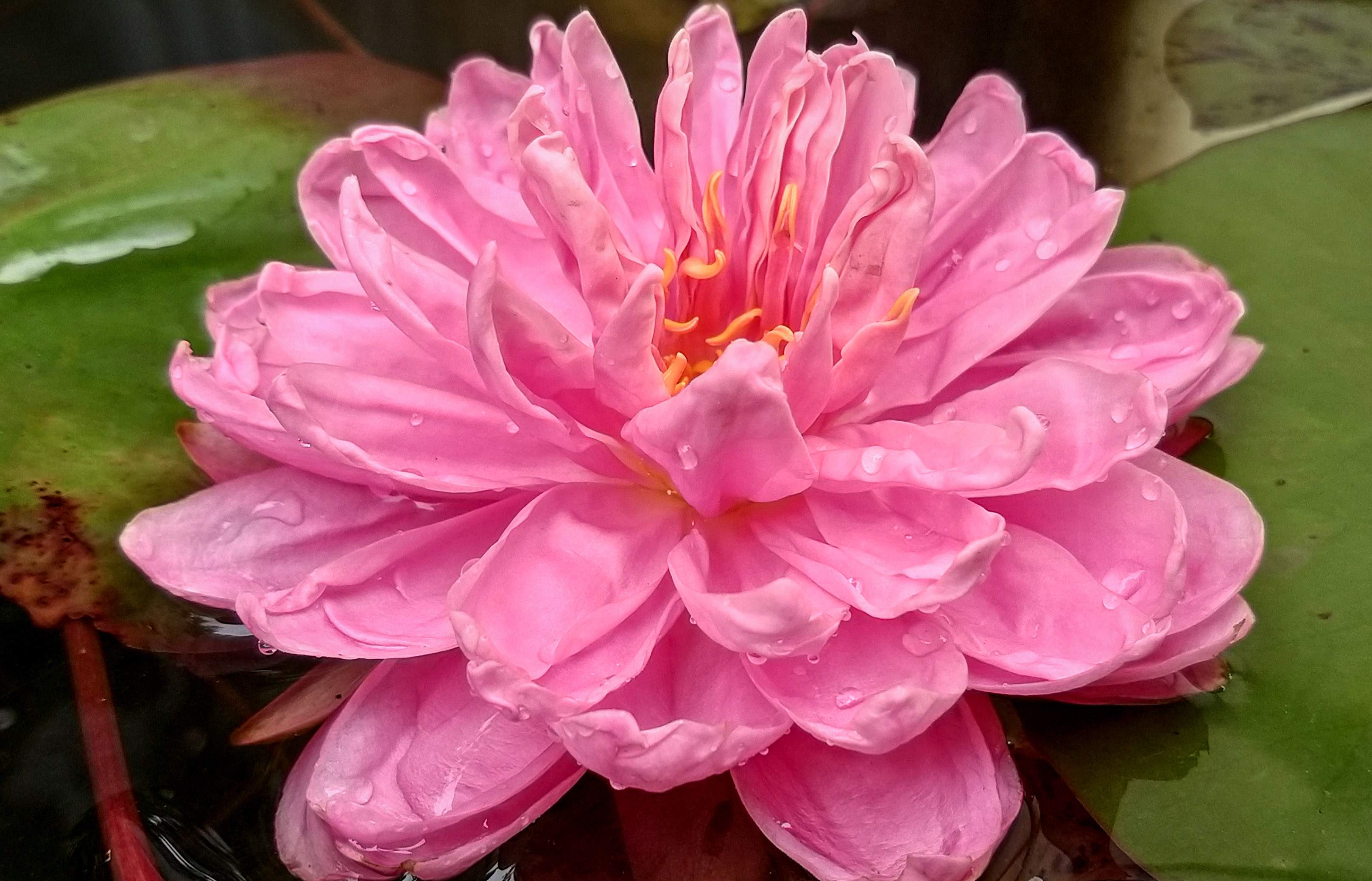 Pilnavidurė vandens lelija 'lily pons'