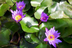 Violetinė vandens lelija Nymphaea 'TINA'