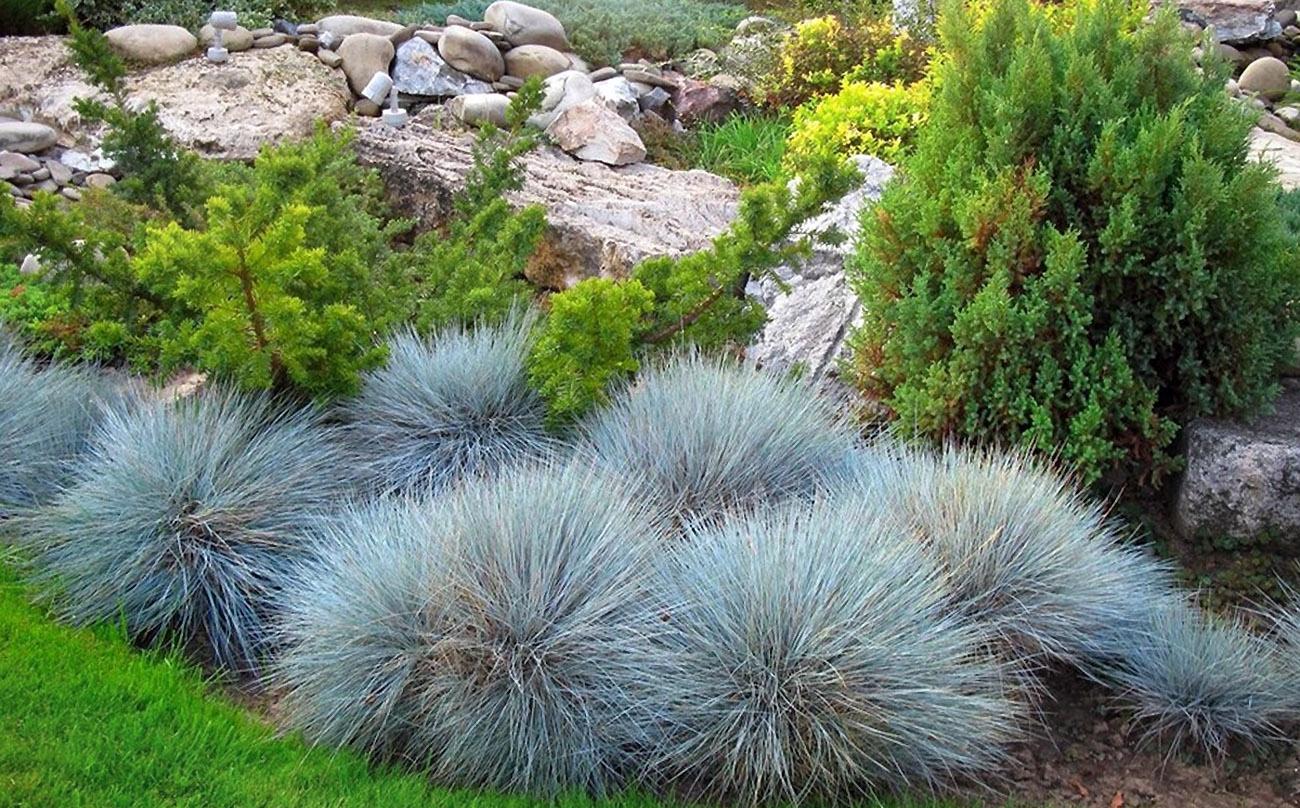 Dekoratyvinės žolės (melsvasis eraičinas)