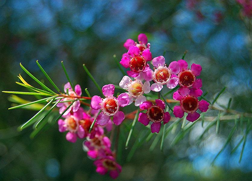 Gėlė vaškagėlė (chamelaucium)
