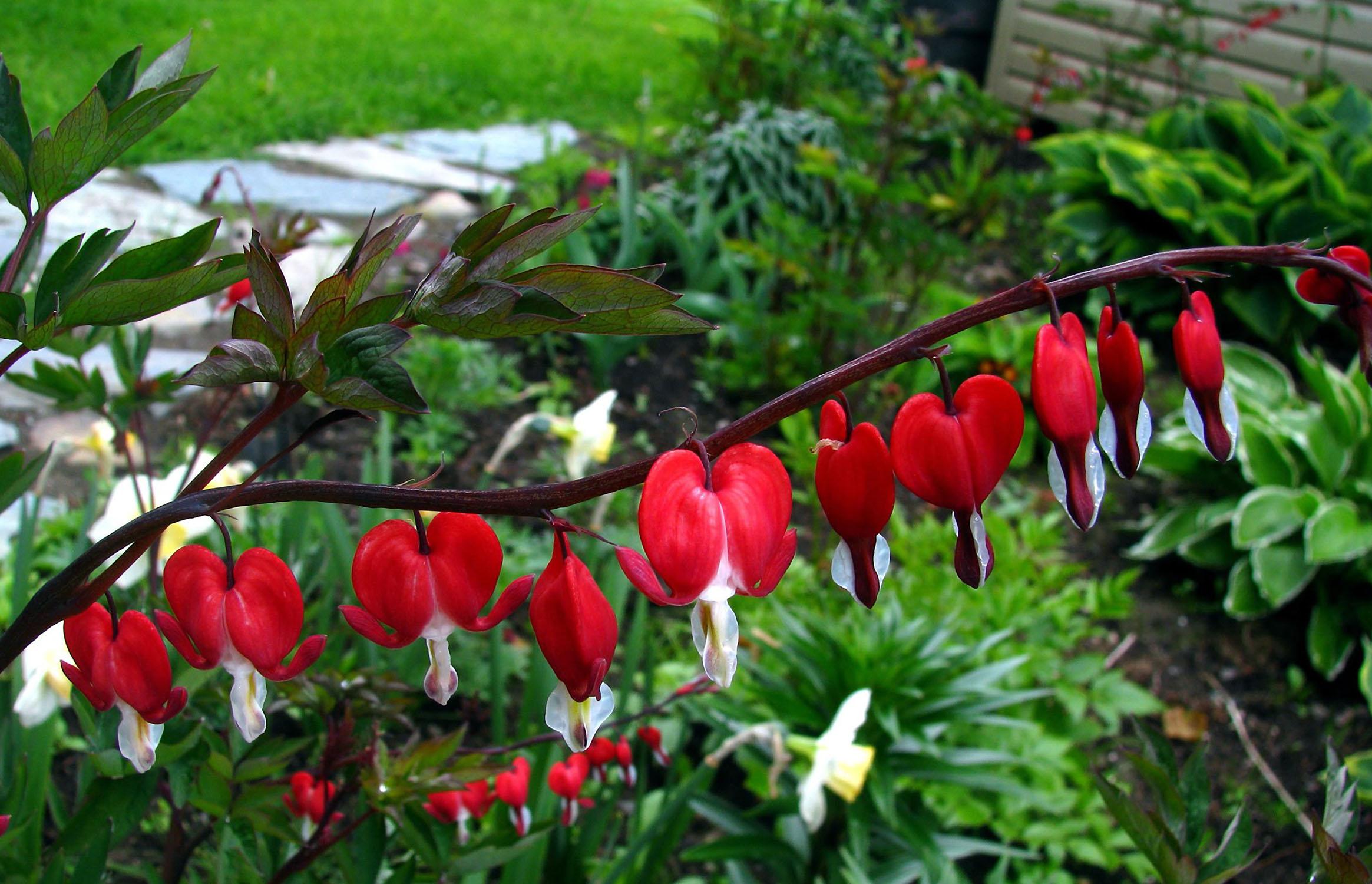 Raudoni auskarėliai (Gėlė)