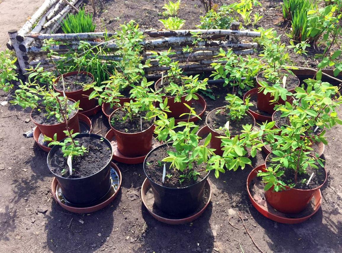 Sausmedžio sodinukai