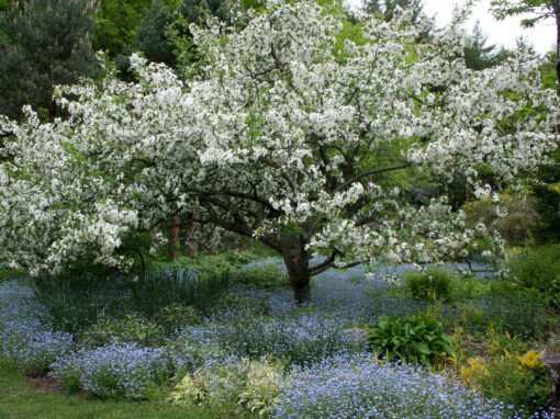 Gėlės nuotrauka. (Pavadinimas: Zyboldo obelis)