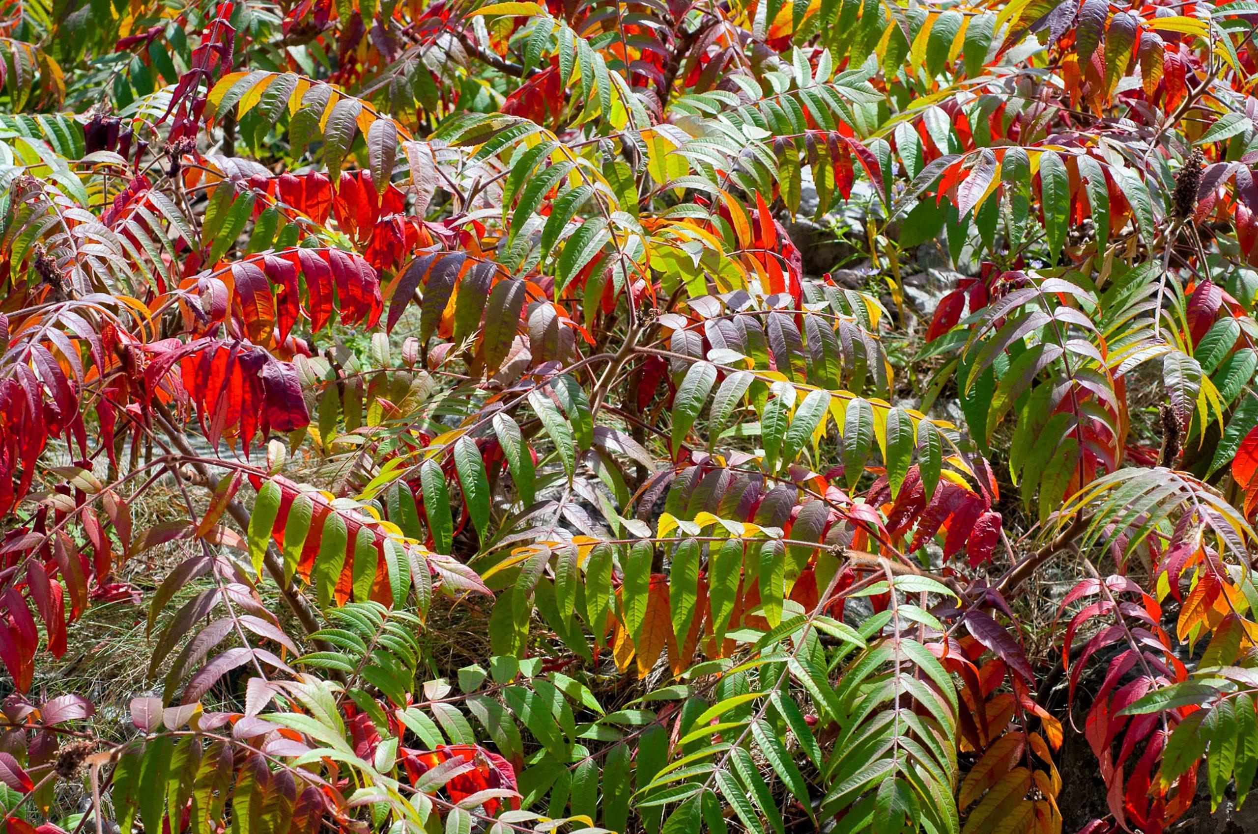 Elniaragis (rūgštusis) žagrenis / Staghorn Sumac (Rhus typhina)