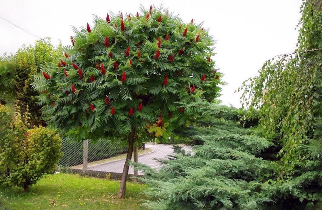 Rūgštusis žagrenis (medis)