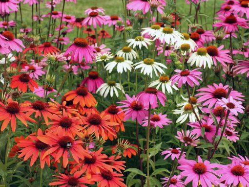 Gėlės nuotrauka. (Pavadinimas: Ežiuolė)