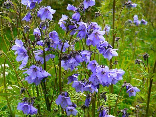Gėlės nuotrauka. (Pavadinimas: Palemonas)