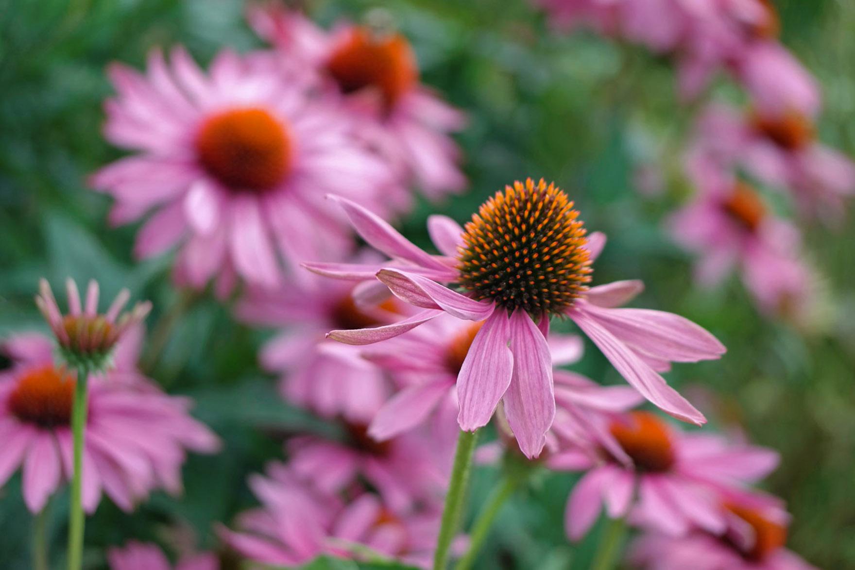 Gėlės ežiuolės