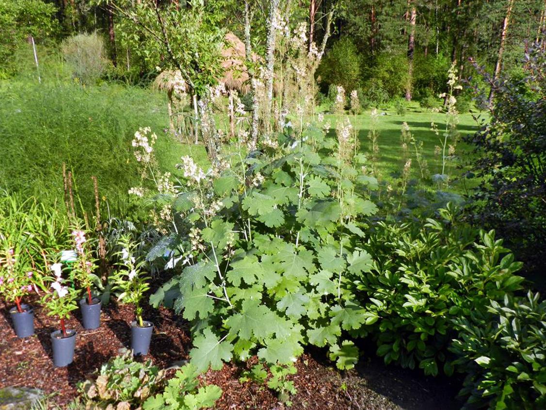 Maklėjos augalas