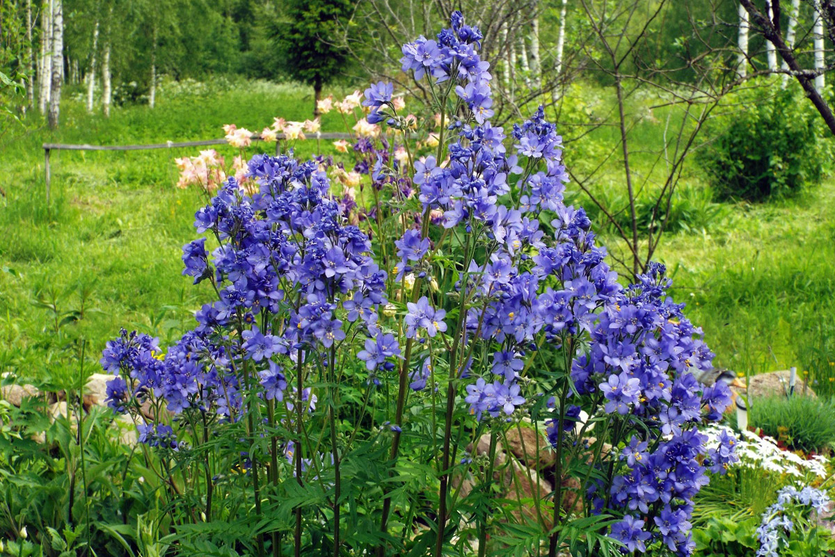 Palemonas (mėlynai žydinti gėlė)
