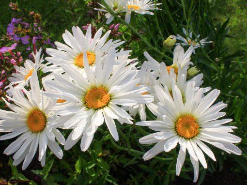 Gėlės nuotrauka. (Pavadinimas: Didžiagraižė baltagalvė)