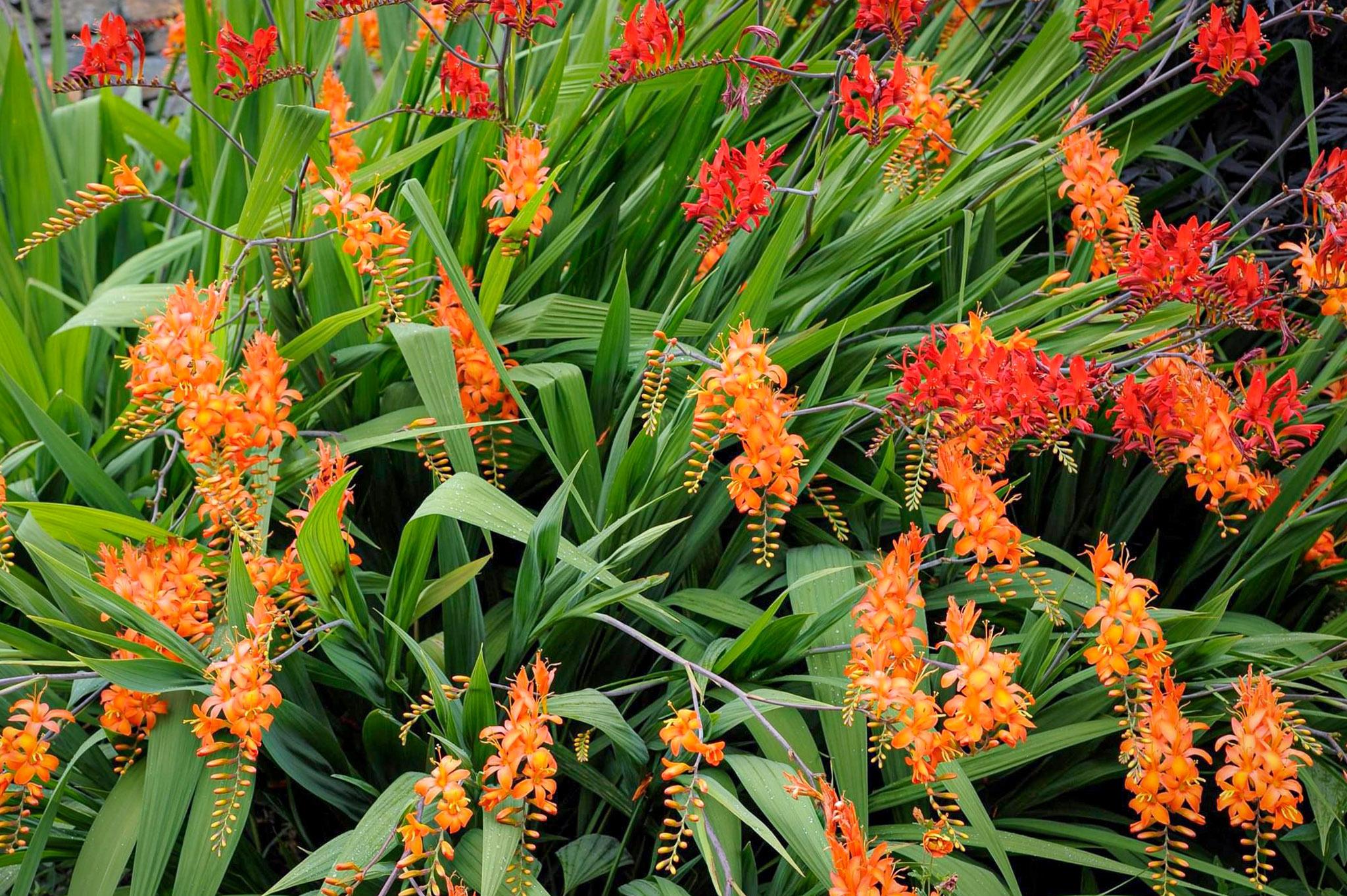 Gėlės montbretės